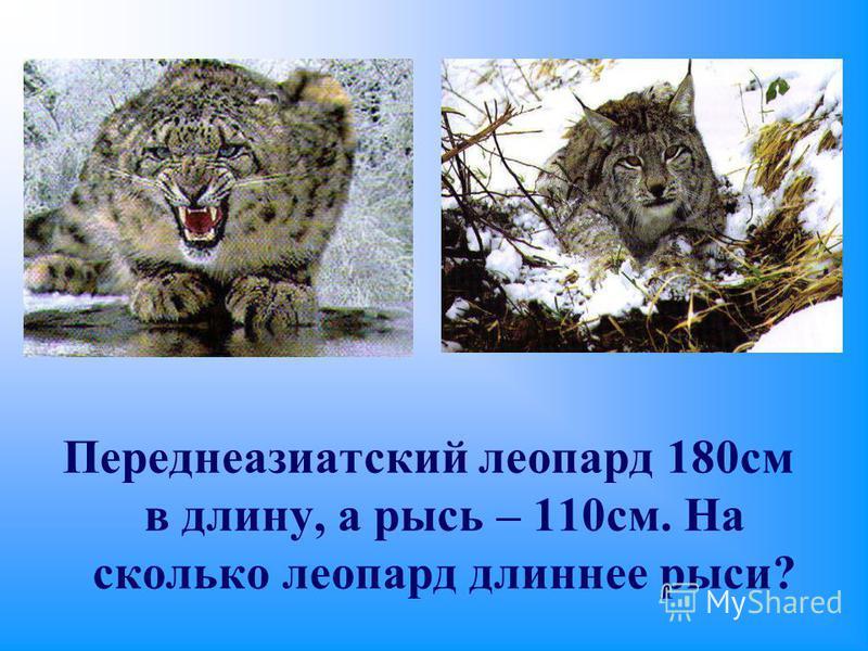 Переднеазиатский леопард 180 см в длину, а рысь – 110 см. На сколько леопард длиннее рыси?