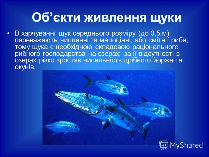 В харчуванні щук середнього розміру (до 0,5 м) переважають численні та малоцінні, або смітні´ риби, тому щука є необхідною складовою раціонального рибного господарства на озерах; за її відсутності в озерах різко зростає чисельність дрібного йоржа та