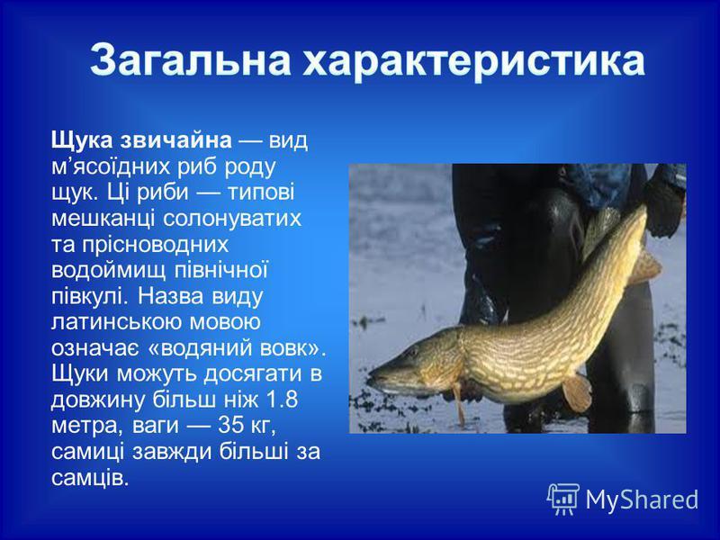 Щука звичайна вид мясоїдних риб роду щук. Ці риби типові мешканці солонуватих та прісноводних водоймищ північної півкулі. Назва виду латинською мовою означає «водяний вовк». Щуки можуть досягати в довжину більш ніж 1.8 метра, ваги 35 кг, самиці завжд