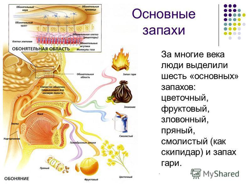 Комягина Т.В. МОУ СОШ 7 г.Кировска За многие века люди выделили шесть «основных» запахов: цветочный, фруктовый, зловонный, пряный, смолистый (как скипидар) и запах гари. Основные запахи