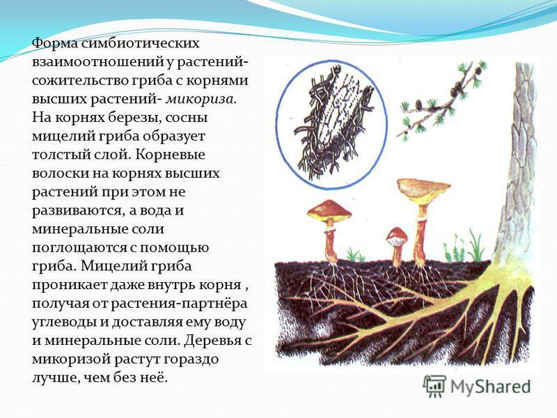 Форма симбиотических взаимоотношений у растений- сожительство гриба с корнями высших растений- микориза. На корнях березы, сосны мицелий гриба образует толстый слой. Корневые волоски на корнях высших растений при этом не развиваются, а вода и минерал