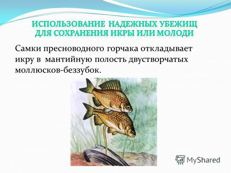 Самки пресноводного горчака откладывает икру в мантийную полость двустворчатых моллюсков-беззубок.