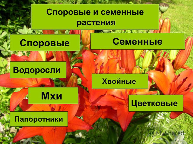 Споровые и семенные растения Споровые Семенные Водоросли Мхи Папоротники Хвойные Цветковые Споровые и семенные растения