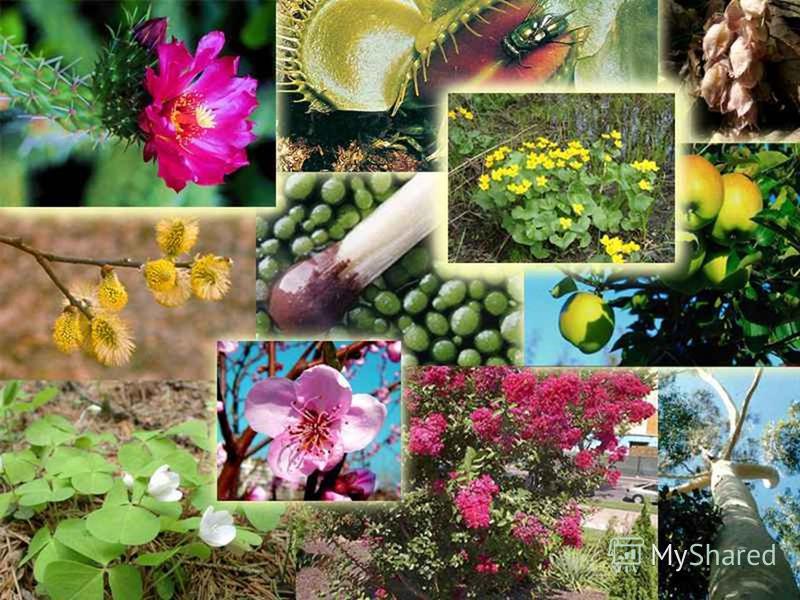 Семенные растения Цветковые