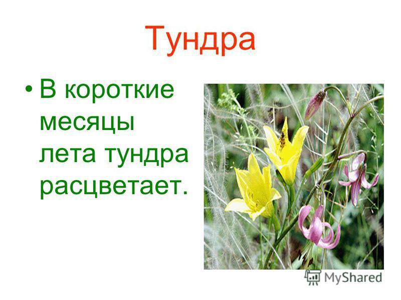 Тундра В короткие месяцы лета тундра расцветает.