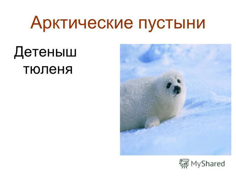 Арктические пустыни Детеныш тюленя