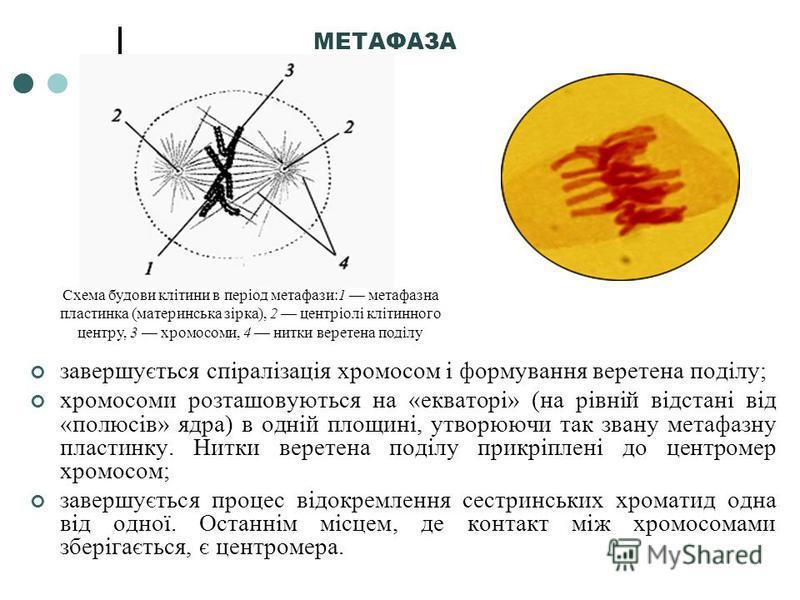 МЕТАФАЗА завершується спіралізація хромосом і формування веретена поділу; хромосоми розташовуються на «екваторі» (на рівній відстані від «полюсів» ядра) в одній площині, утворюючи так звану метафазну пластинку. Нитки веретена поділу прикріплені до це