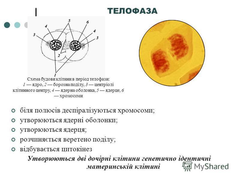 біля полюсів деспіралізуються хромосоми; утворюються ядерні оболонки; утворюються ядерця; розчиняється веретено поділу; відбувається цитокінез Утворюються дві дочірні клітини генетично ідентичні материнській клітині ТЕЛОФАЗА Схема будови клітини в пе