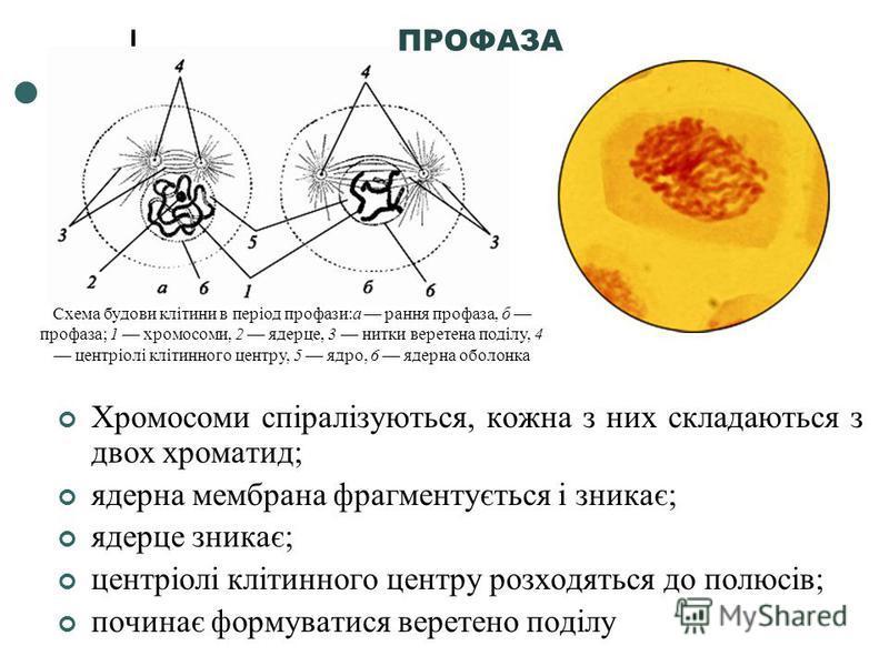 Хромосоми спіралізуються, кожна з них складаються з двох хроматид; ядерна мембрана фрагментується і зникає; ядерце зникає; центріолі клітинного центру розходяться до полюсів; починає формуватися веретено поділу Схема будови клітини в період профази:а