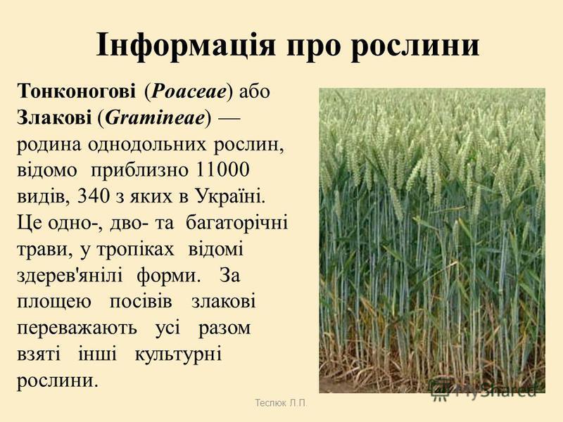 Теслюк Л.П. Біологічна класифікація ДоменДомен: Еукаріоти (Eukaryota) Царство: Зелені рослини (Viridiplantae) Відділ: Streptophyta Надклас: Покритонасінні (Magnoliophyta) Клас: Однодольні (Liliopsida) Підклас: Commelinids Порядок: Тонконогоцвіті (Poa