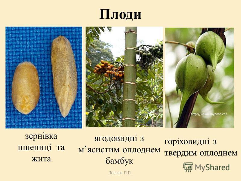 Теслюк Л.П. Суцвіття 1.Складний колос –пшениця, жито, ячмінь, пирій,мишій. 2.Волоть– овес,просо,тичинкові квітки кукурудзи. 3.Початок – маточкові квітки кукурудзи. 4.Султан – тимофіївка. 1.1. 2.2. 3. 4.4.