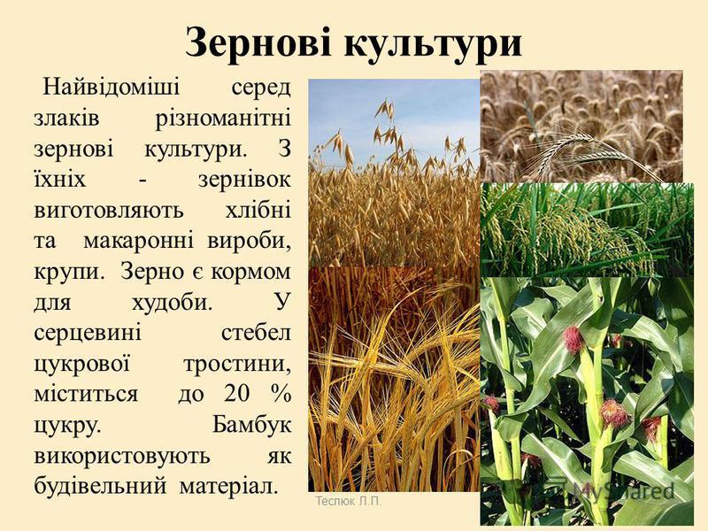 Теслюк Л.П. Господарське значення Тонконогові використовуються як агрокультура. Це-пшениця, жито, ячмінь і овес, до них відносяться рис, просо і кукурудза. Злакові містять близько 75 % складних вуглеводів і 10 % білків, а також жири і клітковину. Доб