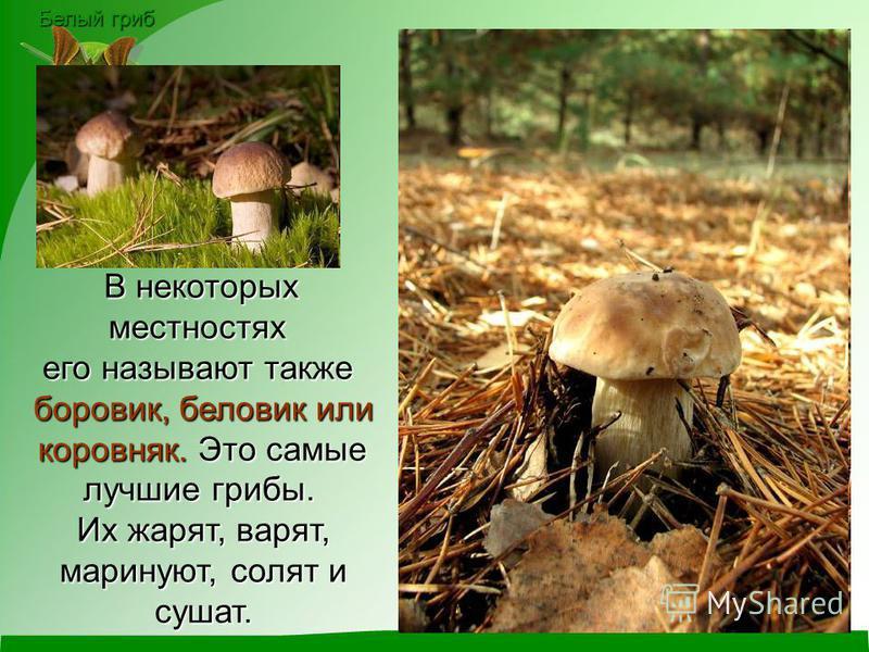 Белый гриб В некоторых В некоторых местностях его называют также боровик, беловик или коровняк. Это самые коровняк. Это самые лучшие грибы. Их жарят, варят, маринуют, солят и маринуют, солят и сушат.