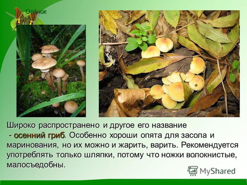 Опёнок Широко распространено и другое его название - осенний гриб. Особенно хороши опята для засола и маринования, но их можно и жарить, варить. Рекомендуется употреблять только шляпки, потому что ножки волокнистые, малосъедобныйй. - осенний гриб. Ос