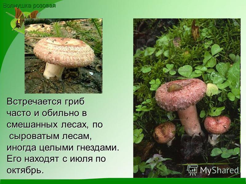 Волнушка розовая Встречается гриб часто и обильно в смешанных лесах, по сыроватым лесам, сыроватым лесам, иногда целыми гнездами. Его находят с июля по октябрь.