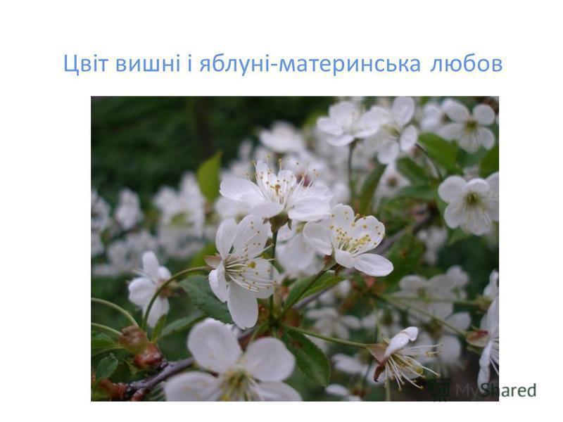 Цвіт вишні і яблуні-материнська любов