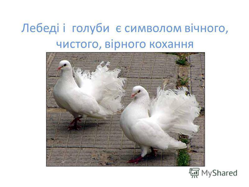 Лебеді і голуби є символом вічного, чистого, вірного кохання