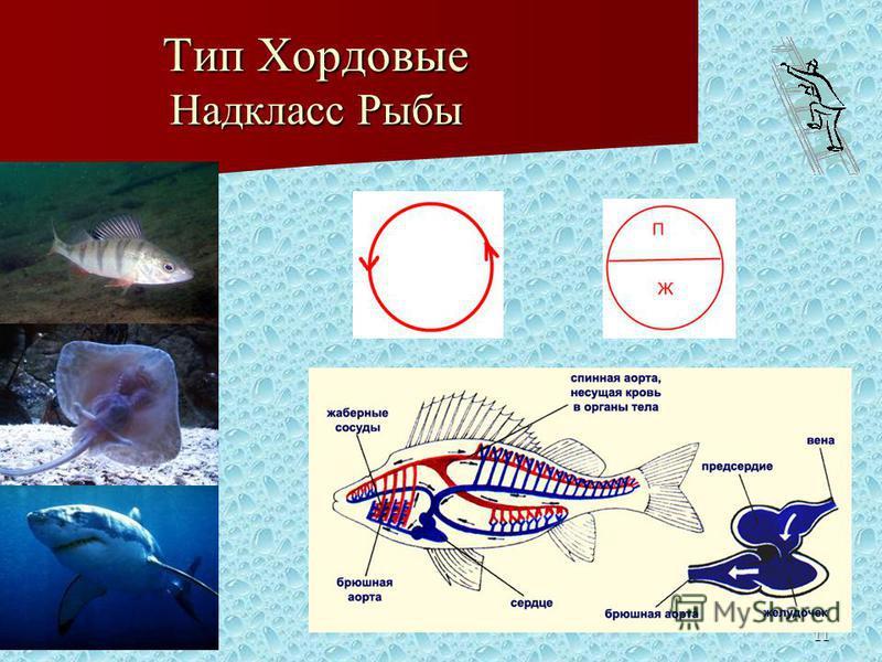 11 Тип Хордовые Надкласс Рыбы