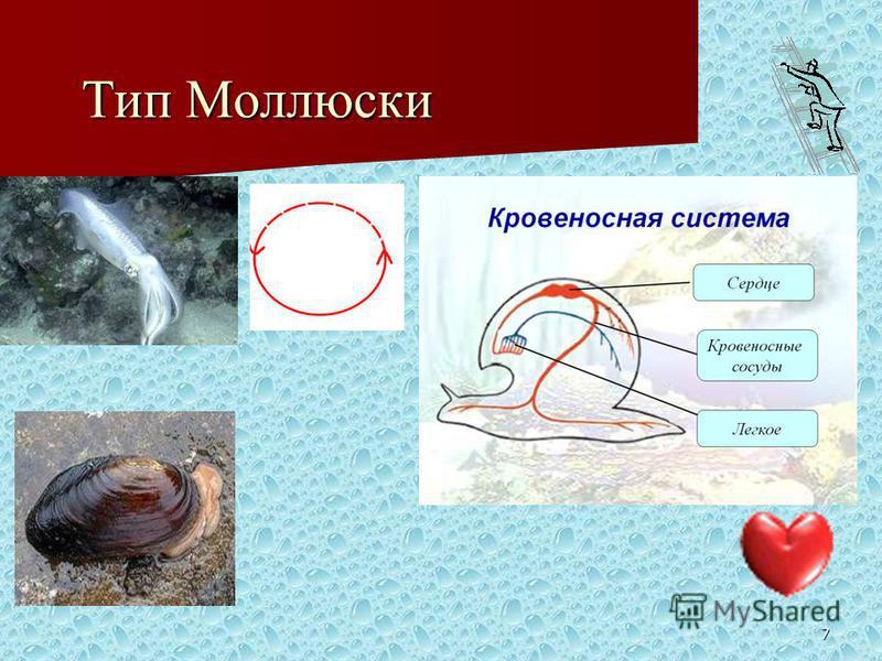 7 Тип Моллюски