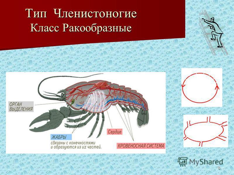 8 Тип Членистоногие Класс Ракообразные
