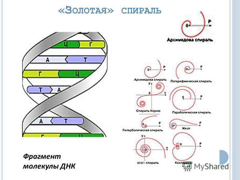 «З ОЛОТАЯ » СПИРАЛЬ Фрагмент молекулы ДНК