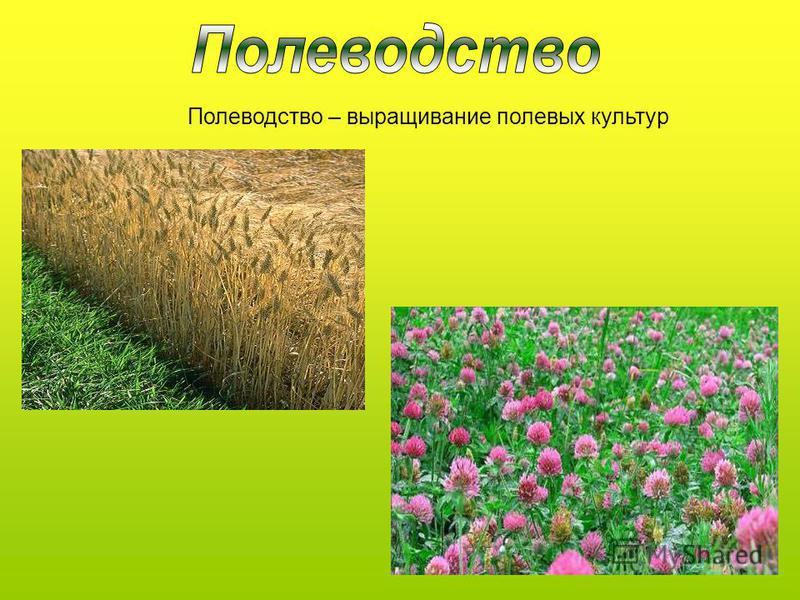 Полеводетство – выращивание полевых культур