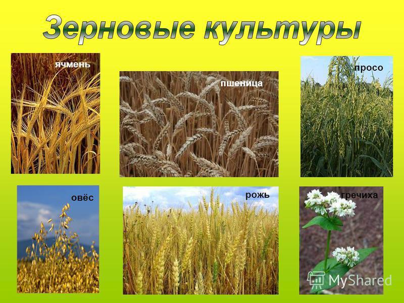 овёс пшеница рожь ячмень просо гречиха