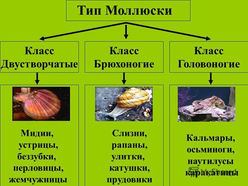 Тип Моллюски Класс Двустворчатые Класс Головоногие Класс Брюхоногие Мидии, устрицы, беззубки, перловицы, жемчужницы Слизни, рапаны, улитки, катушки, прудовики Кальмары, осьминоги, наутилусы каракатицы