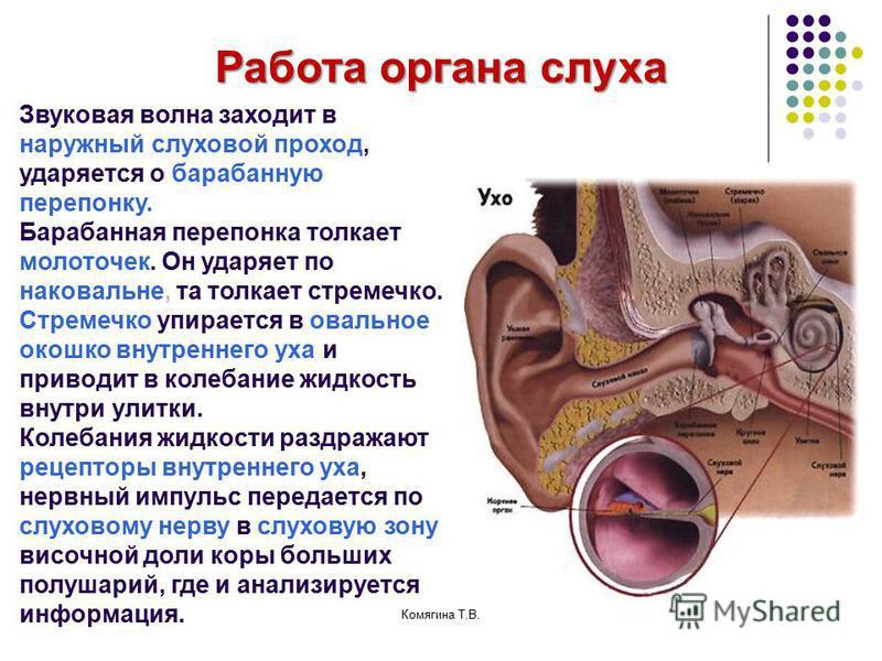 Работа органа слуха Звуковая волна заходит в наружный слуховой проход, ударяется о барабанную перепонку. Барабанная перепонка толкает молоточек. Он ударяет по наковальне, та толкает стремечко. Стремечко упирается в овальное окошко внутреннего уха и п