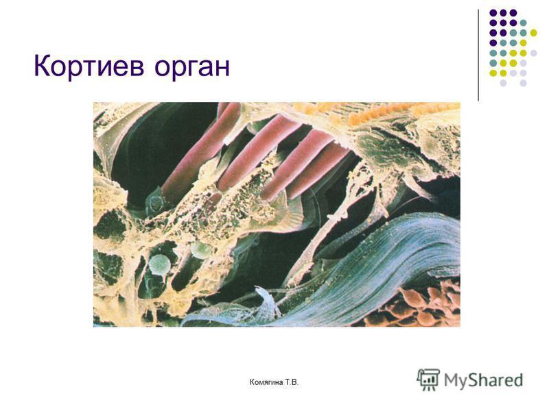 Кортиев орган Комягина Т.В.
