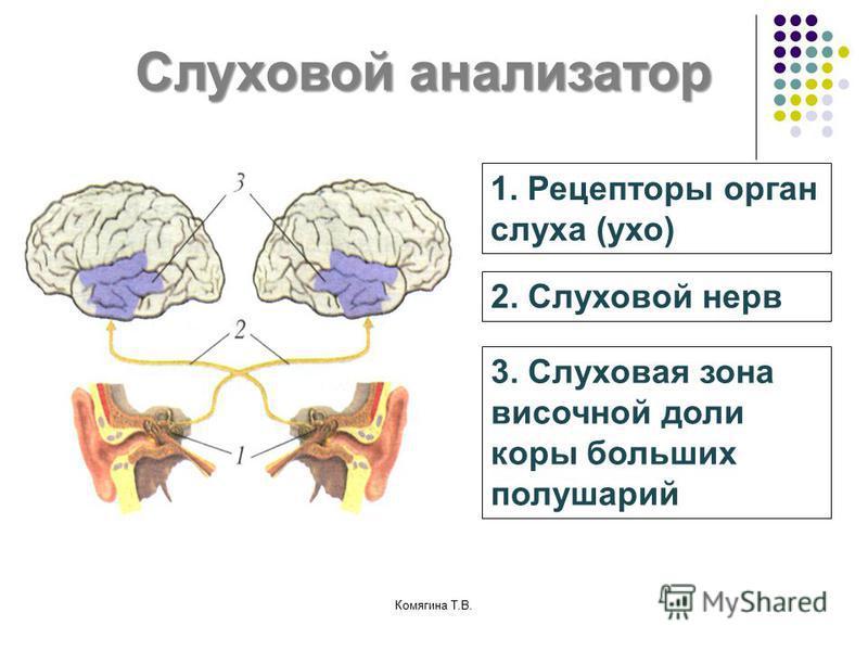 Слуховой анализатор 1. Рецепторы орган слуха (ухо) 2. Слуховой нерв 3. Слуховая зона височной доли коры больших полушарий Комягина Т.В.