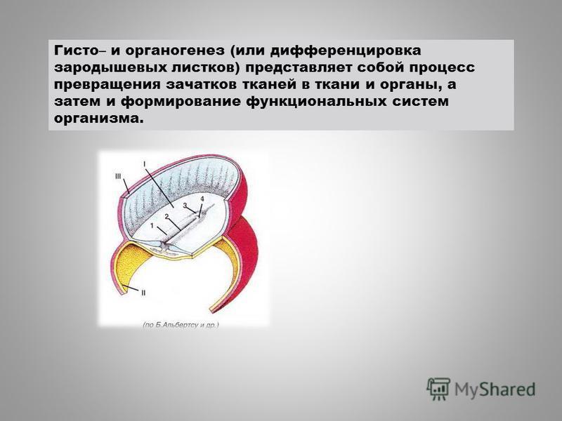 Гисто– и органогенез (или дифференцировка зародышевых листков) представляет собой процесс превращения зачатков тканей в ткани и органы, а затем и формирование функциональных систем организма.