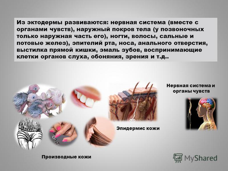 Нервная система и органы чувств Эпидермис кожи Производные кожи Из эктодермы развиваются: нервная система (вместе с органами чувств), наружный покров тела (у позвоночных только наружная часть его), ногти, волосы, сальные и потовые желез), эпителий рт