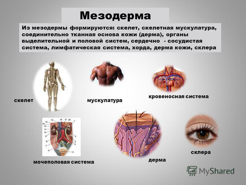 мускулатура кровеносная система скелет мочеполовая система Из мезодермы формируются: скелет, скелетная мускулатура, соединительно тканная основа кожи (дерма), органы выделительной и половой систем, сердечно - сосудистая система, лимфатическая система