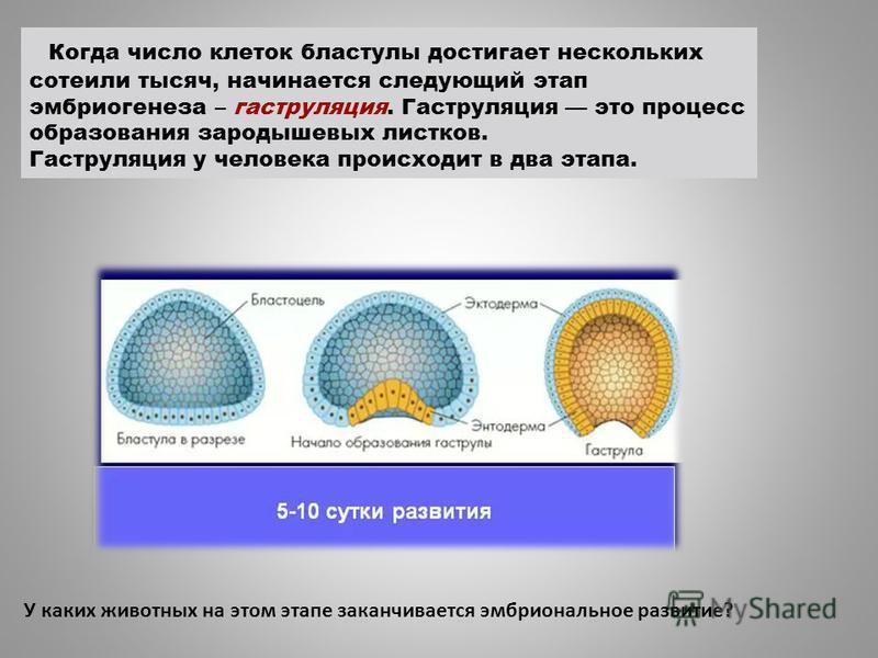Когда число клеток бластулы достигает нескольких сотеили тысяч, начинается следующий этап эмбриогенеза – гаструляция. Гаструляция это процесс образования зародышевых листков. Гаструляция у человека происходит в два этапа. У каких животных на этом эта