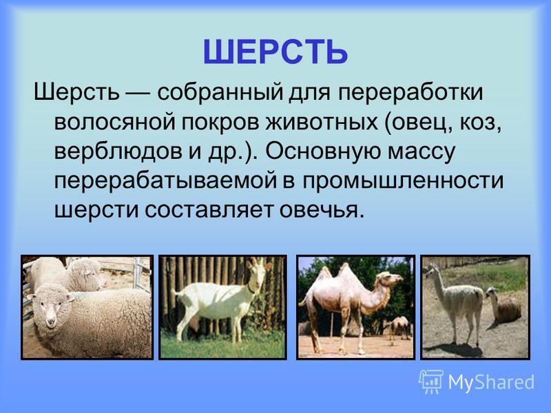 ШЕРСТЬ Шерсть собранный для переработки волосяной покров животных (овец, коз, верблюдов и др.). Основную массу перерабатываемой в промышленности шерсти составляет овечья.