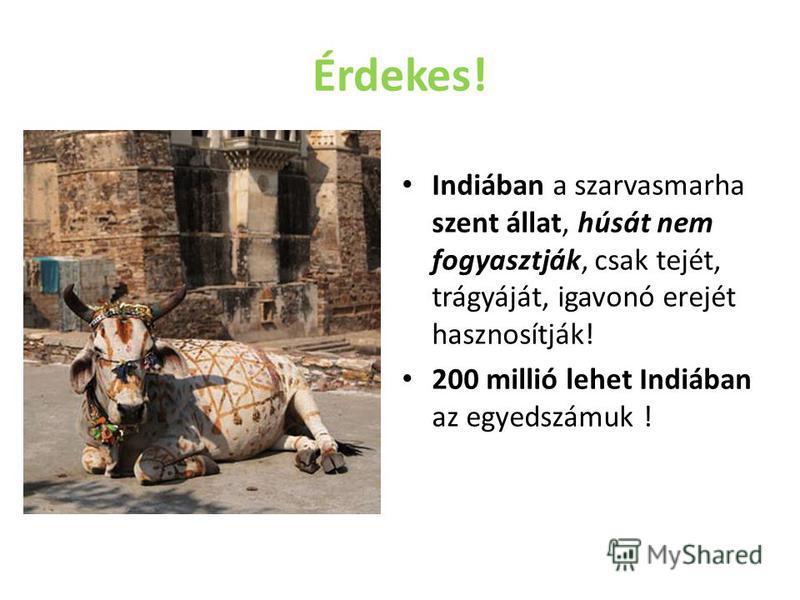 Érdekes! Indiában a szarvasmarha szent állat, húsát nem fogyasztják, csak tejét, trágyáját, igavonó erejét hasznosítják! 200 millió lehet Indiában az egyedszámuk !