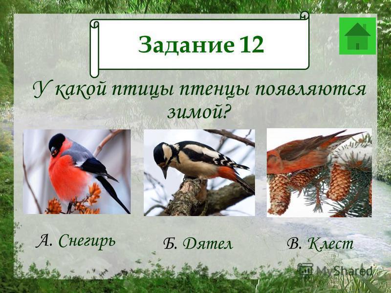 Задание 12 У какой птицы птенцы появляются зимой? А. Снегирь Б. Дятел В. Клест Задание 12