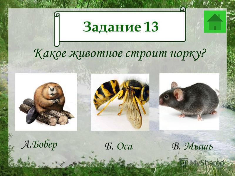 Какое животное строит норку? А.Бобер Б. Оса В. Мышь Задание 13