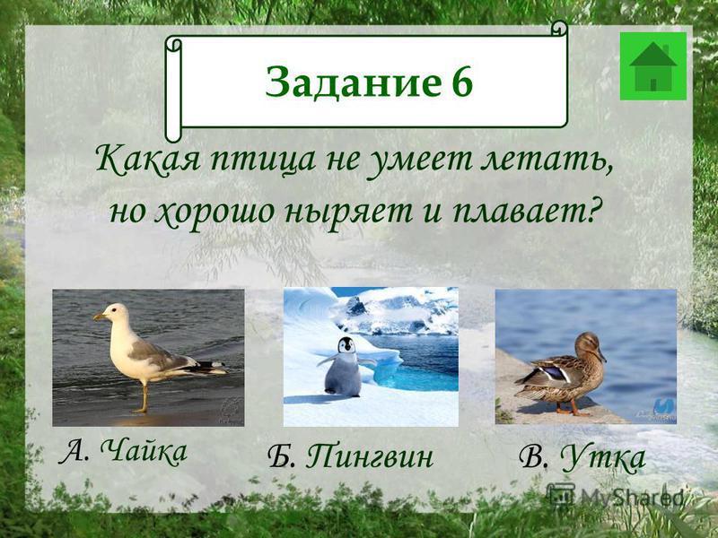 Задание 12 Какая птица не умеет летать, но хорошо ныряет и плавает? А. Чайка Б. Пингвин В. Утка Задание 6