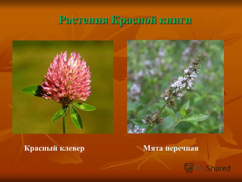 Растения Красной книги Красный клевер Мята перечная
