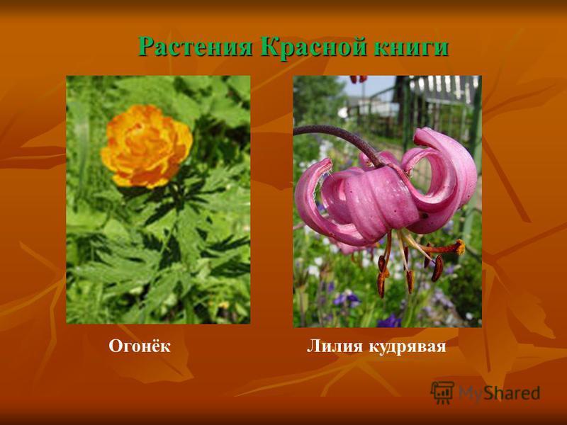 Растения Красной книги Огонёк Лилия кудрявая
