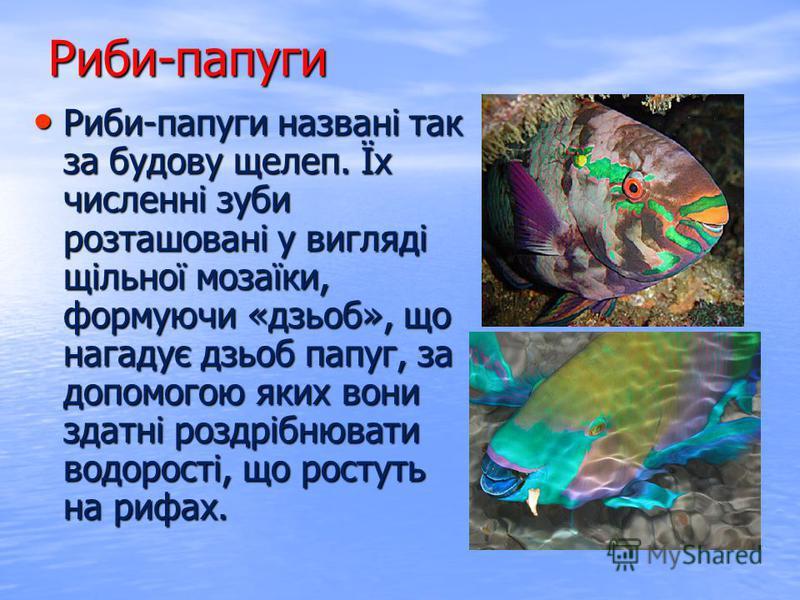 Риби-папуги названі так за будову щелеп. Їх численні зуби розташовані у вигляді щільної мозаїки, формуючи «дзьоб», що нагадує дзьоб папуг, за допомогою яких вони здатні роздрібнювати водорості, що ростуть на рифах. Риби-папуги названі так за будову щ