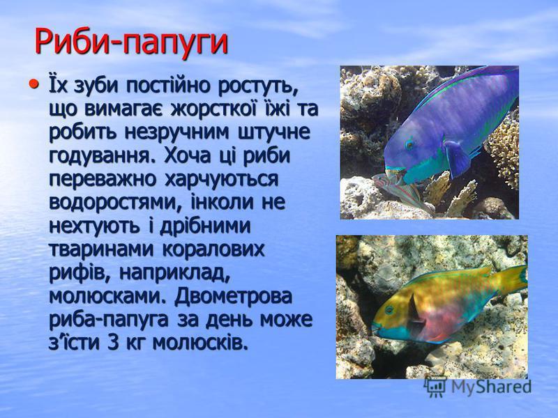 Їх зуби постійно ростуть, що вимагає жорсткої їжі та робить незручним штучне годування. Хоча ці риби переважно харчуються водоростями, інколи не нехтують і дрібними тваринами коралових рифів, наприклад, молюсками. Двометрова риба-папуга за день може