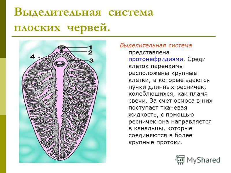 Выделительная система плоских червей. Выделительная система представлена протонефридиями. Среди клеток паренхимы расположены крупные клетки, в которые вдаются пучки длинных ресничек, колеблющихся, как пламя свечи. За счет осмоса в них поступает ткане