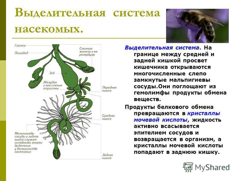 Выделительная система насекомых. Выделительная система. На границе между средней и задней кишкой просвет кишечника открываются многочисленные слепо замкнутые мальпигиевы сосуды.Они поглощают из гемолимфы продукты обмена веществ. Продукты белкового об