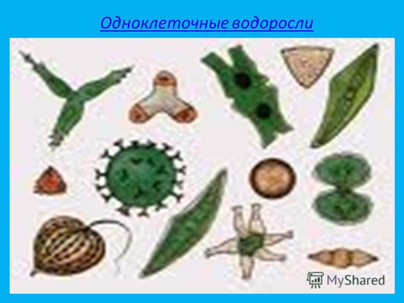 Одноклеточные водоросли Одноклеточные зелёные водоросли обитатели воды. Они живут как в водоемах с пресной водой, так и в соленых водах морей и океанов. Есть и такие, которые живут вне воды, например, на коре деревьев. Водоросли очень разнообразны. З