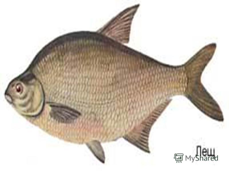 Тело леща высокое, уплощенное. В отличие от густеры, в спинном плавнике 9 лучей. Рот полунижний с выдвижными губами. Молодь имеет ярко- серебристую окраску, а у взрослых рыб чешуя приобретает желтый оттенок, нередко медно-красный. Все плавники серые,