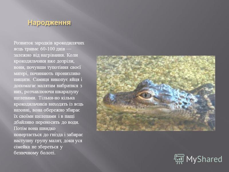 Народження Розвиток зародків крокодилячих яєць триває 60-100 днів залежно від нагрівання. Коли крокодильчики вже дозріли, вони, почувши тупотіння своєї матері, починають пронизливо пищати. Самиця викопує яйця і допомагає малятам вибратися з них, розч