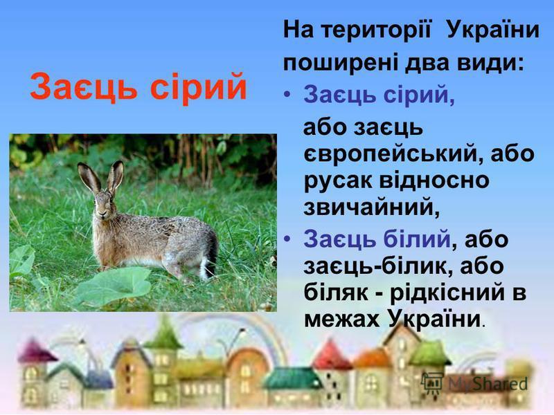 Заєць сірий На території України поширені два види: Заєць сірий, або заєць європейський, або русак відносно звичайний, Заєць білий, або заєць-білик, або біляк - рідкісний в межах України.